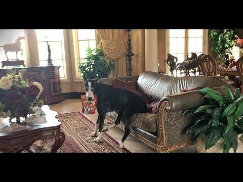 helpful-great-dane-helps-herself-to-her-dog-treats