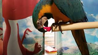Попугай ара снимает резинку с крючка стенда