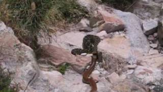 Snake Fight to the Death - Cape Cobra vs Puff Adder