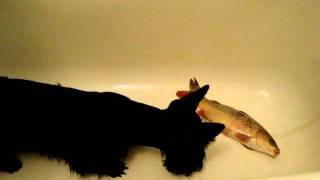 Скотч-терьер Тоша и страшный зверь - рыба карп.MPG
