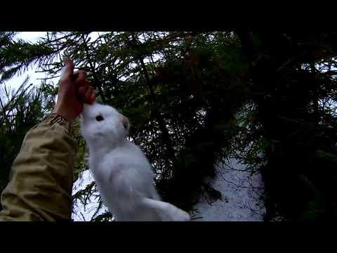 Охота на зайца беляка. 2018.