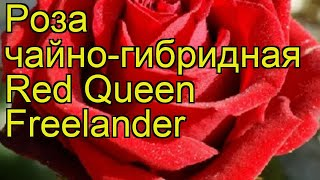 Роза чайно-гибридная Ред Куин Фриландер. Краткий обзор, описание характеристик Red Queen Freelander