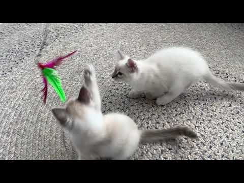 Tigertail's Balinese kittens