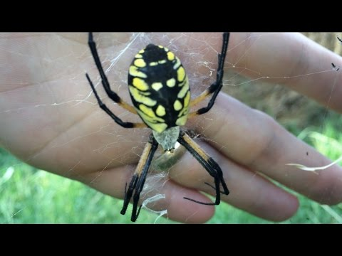 Superb Feeding A Huge Spider! The Yellow And Black Garden Spider. Spidey Fridey Pt  1