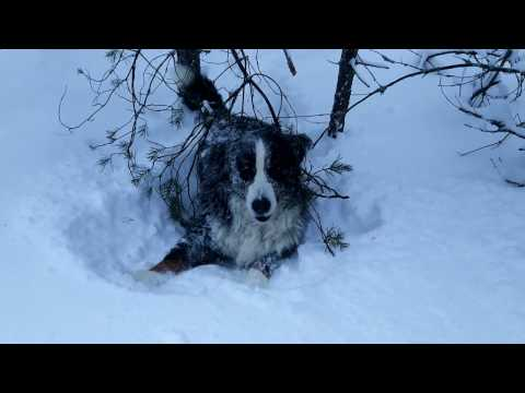 Very deep snow fun. Bernese Mountain Dog.