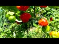 Growing sweet flavor red bell pepper plants organic gardening