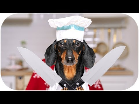 Chefs Battle for a Christmas dinner! Cute & funny dachshund dog video!