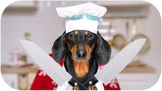 chefs-battle-for-a-christmas-dinner-cute-funny-dachshund-dog-video
