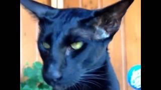 Приколы котики- ориентал - июня 23, 2015