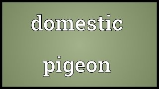 Domestic pigeon Meaning