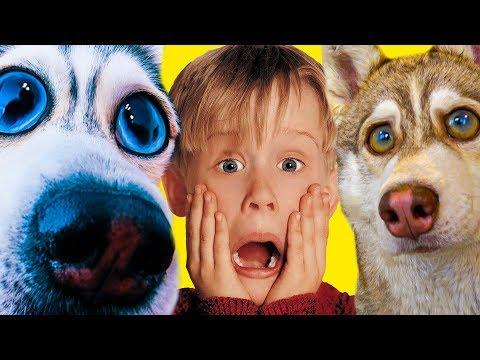 ХАСКИ ОДНИ ДОМА!! (Хаски Бандит) Говорящая собака