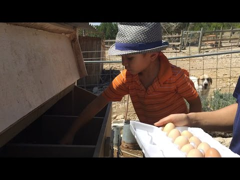 Farm Visit For Children - Picking Eggs from Chicken Coops & Nests!