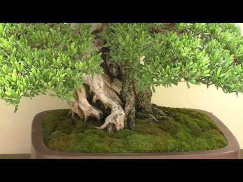 Pemphis acidula Bonsai ハマシタン(ミズガンピ)盆栽:The 8th World Bonsai Convention, SAITAMA CITY