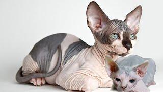 Mèo Sphynx quý hiếm của Aİ Cập đẻ con sẽ như thế nào?