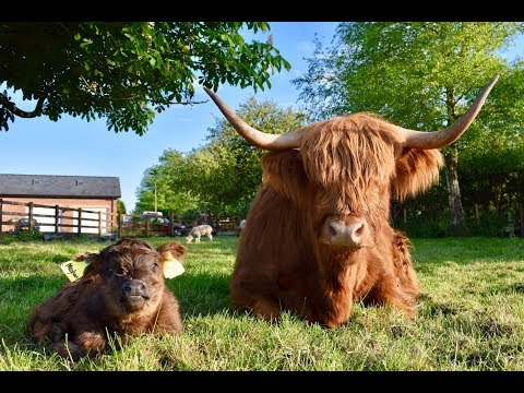 MEET HER ROYAL HIGHNESS MEGHAN THE HIGHLAND CALF!! Plus come see our Tractors!