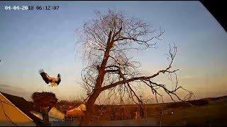 Bociany w Nowym Kamieniu / White Storks in Poland thumbnail