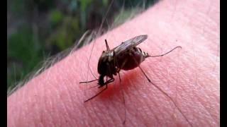 комар пьет кровь \ mosquito drinks blood(Эх лето.... :)) комариная пора :) самки большинства видов комаров пьют кровь позвоночных: млекопитающих, птиц,..., 2011-06-07T22:20:27.000Z)