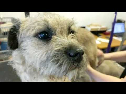 Hand-stripping - Tweed - Boarder Terrier