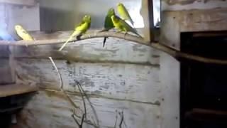 Разведение волнистых попугаев.