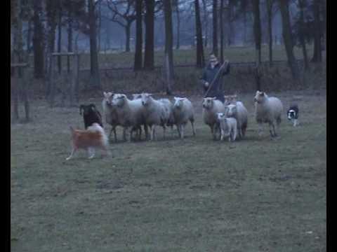 Icelandic Sheepdog Alisa herding (I)