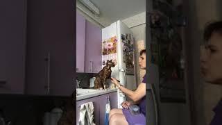 Ориентальная кошка, обучение командам