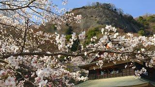 日本一周女ひとり旅258日目。山梨県岩殿山で桜Live