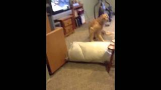 Teaching Your Dog To Jump Over Obstacles
