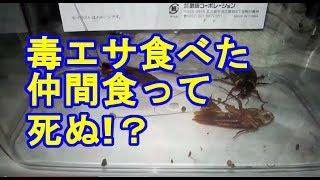 【実験最終章】毒エサ(フィプロニル)食べて死んだゴキブリを仲間のゴキブリが食べて死ぬか試してみた