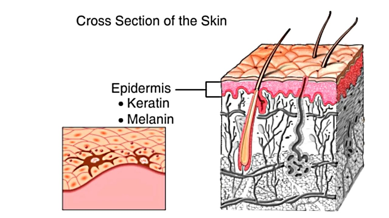 how the skin works animation structure and function of the human skin video skin layers anatomy youtube [ 1280 x 720 Pixel ]