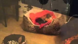 Minnie my 8 week old Shorkie puppy