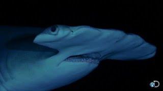 Large Hammerheads at Night   Shark Week