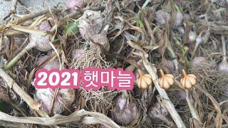 2021.6.12 마늘캐기