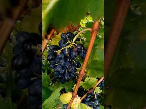 Виноград подарок Молдовы, мой первый урожай