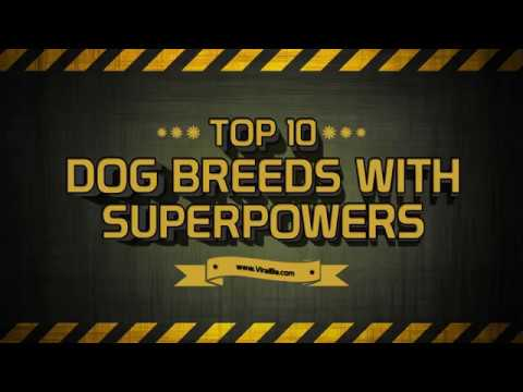 Top 10 Dog Breeds viral in world 2018  Top 10 Dog listed