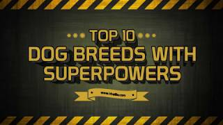 Baixar Top 10 Dog Breeds viral in world 2018 | Top 10 Dog listed