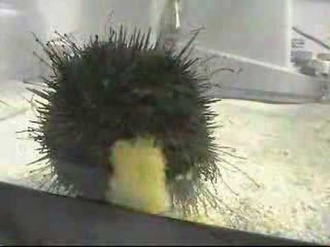 Sea Urchin Eating A Cookie