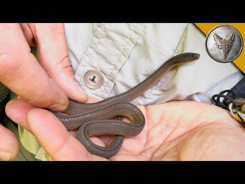 Rare Japanese Snake FOUND!