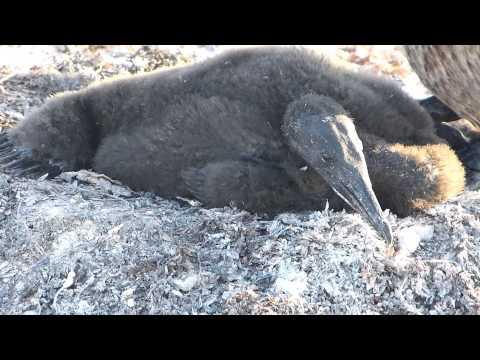 Flightless Cormorants - Galapagos Islands - September 2013