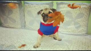 Pug puppy in a tshirt playing in the house #Donutdonu #pug #puppy