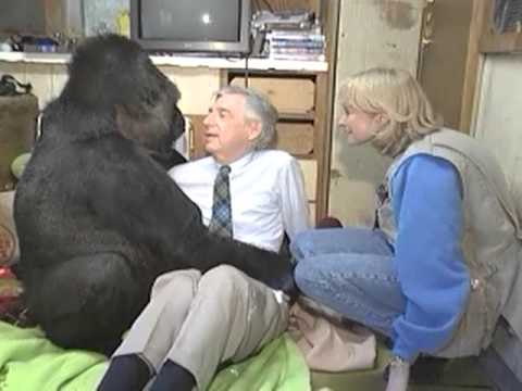 Koko The Gorilla meets Mr. Rogers  KokoFlix