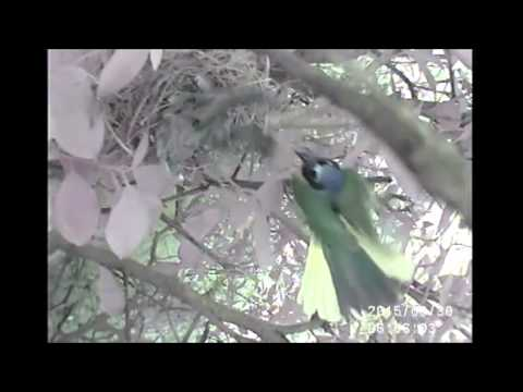 Crested caracara predation of white-tipped dove nest (green jay attempt)