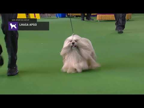 Lhasa Apsos | Breed Judging 2019