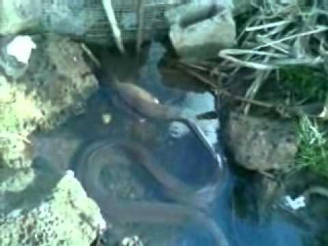 hqdefault - Anguilles, murènes et anguilliformes