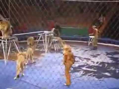 هجوم خمس أسود على مدربهم | Five lions attack on their coach