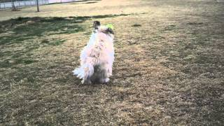 Muffin The Rescued Cairn Terrier Playing At The Dog Park