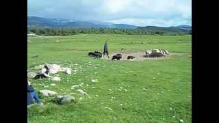 Highland Shepherd With Border Collies - Part 1