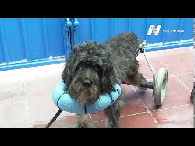 Desde cachorro, este perrito perdió la movilidad; el amor y paciencia de un hombre mejoraron su vida