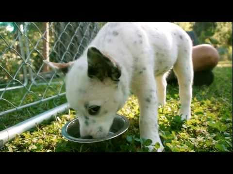 Puppies! White Blue Queensland Heeler Australian Cattle Dog