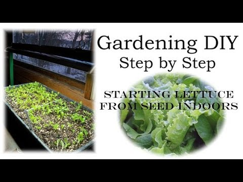 how to grow romaine lettuce from seed