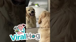 Golden Retriever Practices His Mean Face || ViralHog